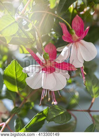 Beautiful Fuchsia Plant. Beautiful Hanging Fuchsia Flowers Looking Like Little Ballerina In The Rays