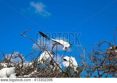 Wood Stork In Flight Brings Stick To Nest.
