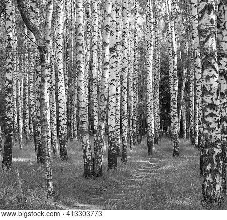 Walking Road In Summer Birch Forest Black And White