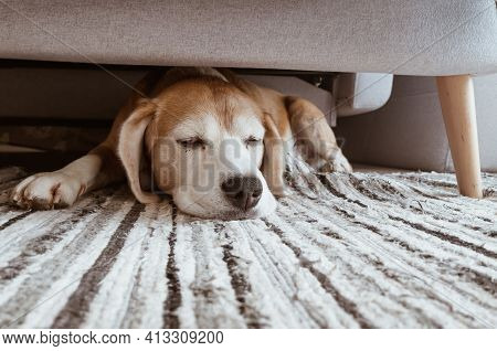 Cozy Home Interior Image Of A Beagle Dog Lazy Sleeping Under The Sofa In Living Room. Funny Pets Con