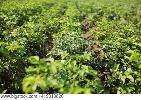 Young Potato Plant Growing On The Soil.potato Bush In The Garden.healthy Young Potato Plant In Organ