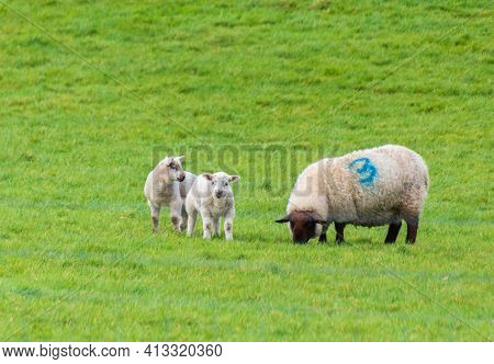 Female Sheep With Her Young Lamb, Facing Forward In Green Meadow. The Little Lamb Is Nuzzling Up To
