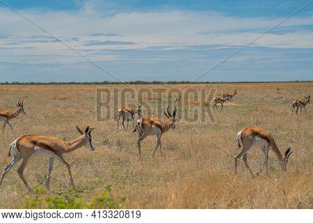 The Springbok Medium-sized Antelope In The Savanna At The Etosha Pan. Etosha National Park, Namibia