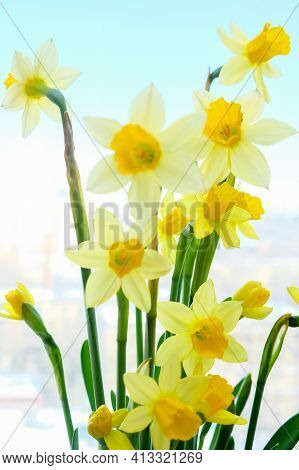 First Spring Yellow Blooming Flowers Narcissus Against Blue Background