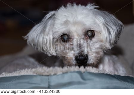 Small Dog Has Cataracts - Havanese After The Dog Groomer