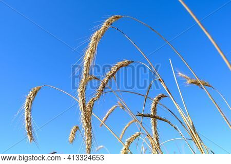 Agriculture. Rye Harvest. Ripe Ears Of Rye In The Field.