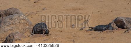 Fur Seals Babys Lie On Sand At Cape Cross At The Skelett Coast Of Namibia Cape Cross Is The Largest