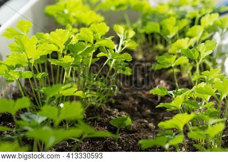 Fresh Green Parsley Growing In Pot.parsley Close Up. Natural Herb Planting.flavoring Herbs Growth.ha
