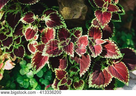 Coleus Leaf Plant (solenostemon Scutellarioides) In A Garden, Decorative Plant, Spring Season Nature