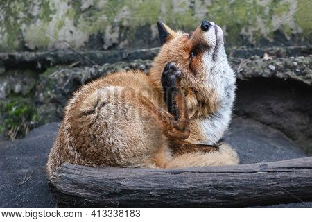 Fluffy Red Fox Scratching Its Head. Furry Fox With Dense Reddish-rusty Fur Lying On The Ground Behin