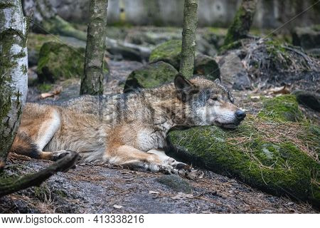 Sleeping Wolf With Its Head On The Mossy Stone. Grey Wolf (canis Lupus) Lying On The Ground Among Tr