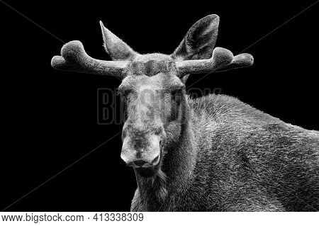 Young Male Moose With Velvet Antlers. Bull Elk (alces Alces) With Growing Antlers Covered With Fluff