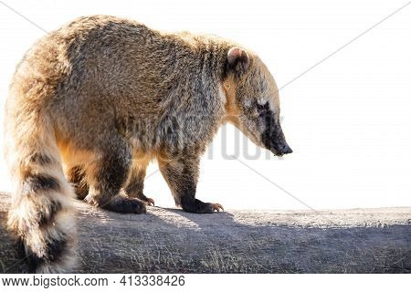 South American Coati Isolated On White. Ring-tailed Coati (nasua Nasua) With Long Snout And Fluffy T