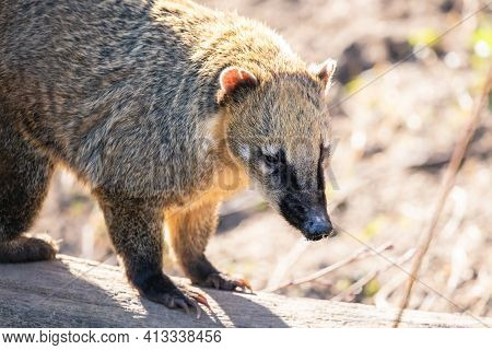 South American Close-up Portrait. Furry Ring-tailed Coati (nasua Nasua) With Long Black Snout On The