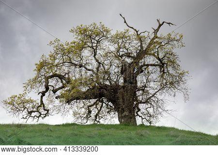 Lone Oak Tree On Hilltop. Pearson-arastradero Preserve, Santa Clara County, California, Usa.