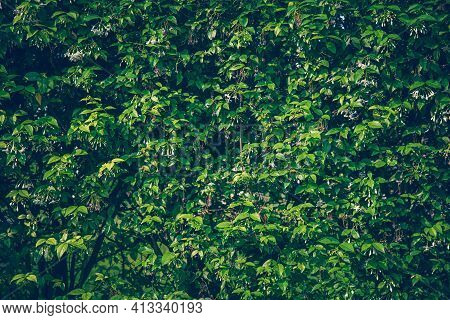 Wallpaper Leaves In Nature In The Forest Of Humid Summer Closeup Of Large Philodendron Leaf Freshly