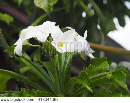Plumeria Mix Color White And Yellow Colorfull Flower Blooming In Garden On Blur Nature Background Tr