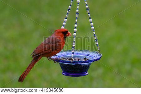 A Red Male Cardinal Eating  Birdseed From A Blue Bird Feeder