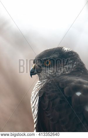 Close Up Portrait Of Dark Bird Of Prey Looking At Prey