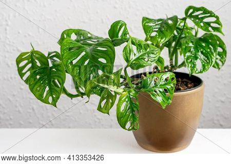 Monstera Monkey Mask In Brown Pot On The Wall Background. Tropical Mini Monstera Monkey Mask Potted
