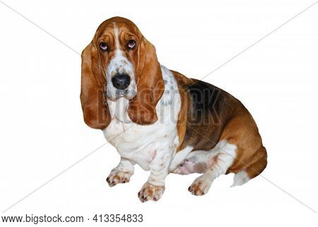 Lovely Puppy Young Healthy Female Basset Hound On White Background And Clipping Path.