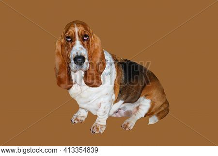 Animal Dog, Lovely Young Basset Hound Female In Position Sitdown On Brown Background And Clipping Pa