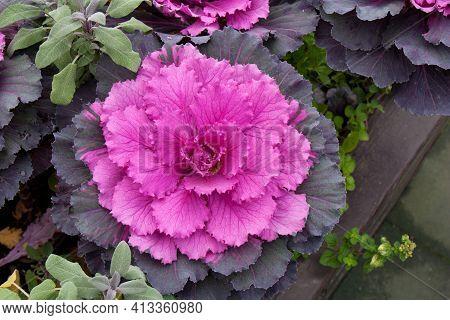 Flowering decorative purple-pink cabbage plant in garden.   Crimson decorative cabbage.Ornamental kale.