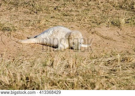 A Grey Seal Pup Fast Asleep On A Sandy Patch Surrounded By Grass At Donna Nook Nature Reserve, Linco