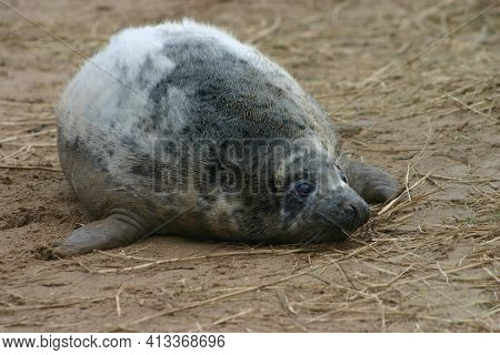 Moulting Grey Seal Pup At Donna Nook Nature Reserve, Lincolnshire, England, Uk.