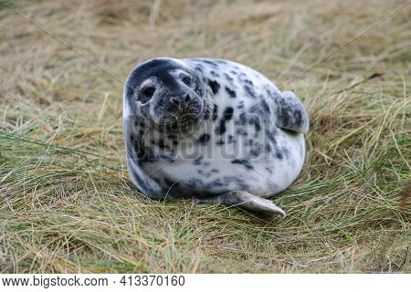 Grey Seal Pup Lying On Some Grass At The Donna Nook Nature Reserve In Lincolnshire, England, Uk.