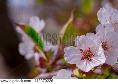Beautiful Nature Scene With Blooming Tree And Sun Flare. Sunny Day. Spring Flowers. Beautiful Orchar