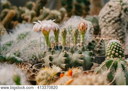 Cactus Flowers, Gymnocalycium Sp. With Pink And White Flower Is Blooming On Pot, Succulent, Cacti, C