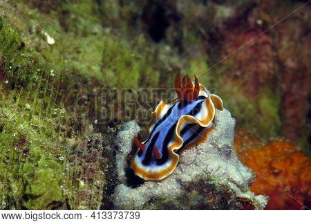 A Chromodoris Annae Nudibranch On Corals Cebu Philippines