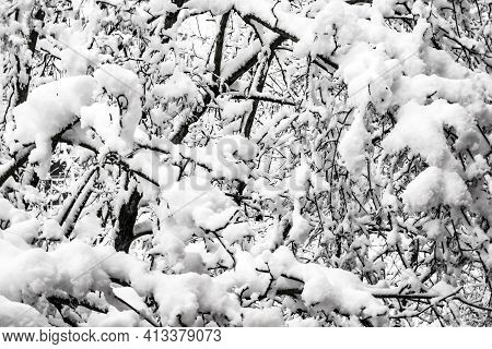 Soft Illumination Landscape. Rime. Winter Background With Twigs Covered With Hoarfrost N A Rich Fros