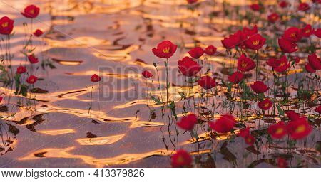 Poppies On Clear Water With Light Glints Of A Warm Sunset. 3d Rendering