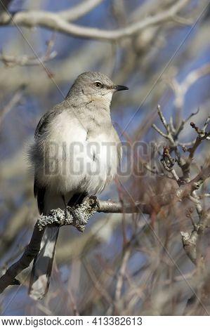 A Vertical Of A Northern Mockingbird, Mimus Polyglottos