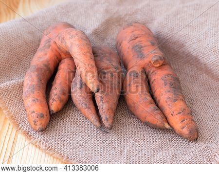 Ugly Organic Carrots From Home Garden On A Wooden Barn Table. Selective Focus.