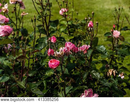 The Flowers Of Wild Rose Medicinal. Blooming Wild Rose Bush. Rose Hip Flowers Close-up.