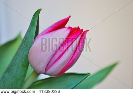 Beautiful Pink Bright Spring Tulip Close Up
