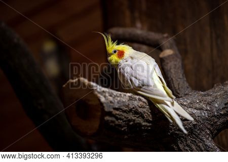 View Of Grey-yellow Male Budgie Cockatiel Parrot On The Tree Branch. Photography Of Nature And Wildl