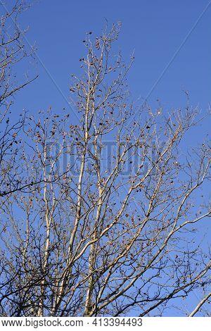 London Plane Bare Branches With Seeds Against Blue Sky - Latin Name - Platanus X Hispanica (platanus