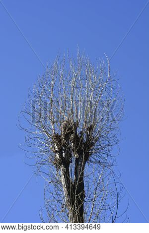 Lombardy Poplar Bare Branches Against Blue Sky - Latin Name - Populus  Nigraa Var. Italica