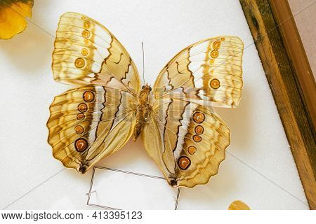 Butterfly Amathusia On Stand Of Entomological Collection. Stichophtalma Camadeva. Frame For Copy Spa