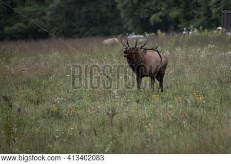 Bull Elk Bugles With Tangle Of Weeds In His Antlers In Oconaluftee Valley Of The Great Smoky Mountai
