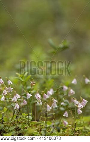 Tiny Twinflower, Linnaea Borealis Blooming In Pale Pink Twin Flowers In Finnish Nature