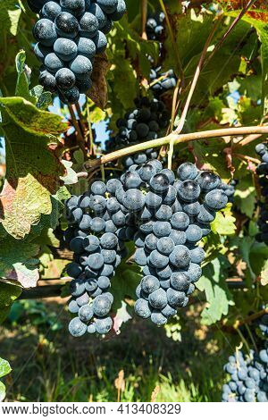 Close Up Of Berries And Leaves Of Grape-vine. Single Bunch Of Ripe Red Wine Grapes Hanging On A Vine
