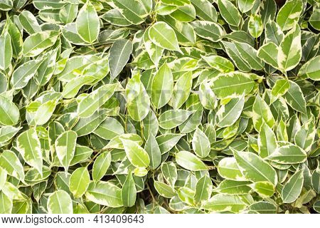 Weeping Fig, Benjamin Fig, Ficus Tree Leaves Close Up Texture Background. Variegated Ficus Benjamina
