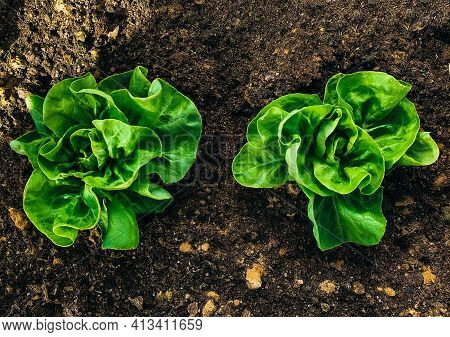 Two Rich Green Butter Lettuce Salads In Middle Of Frame And Viewed From Above. It Is Planted In Yell