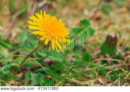 Plant Dandelions On A Green Meadow. Single Yellow Flower With Many Petals. Green Grass In Spring. As