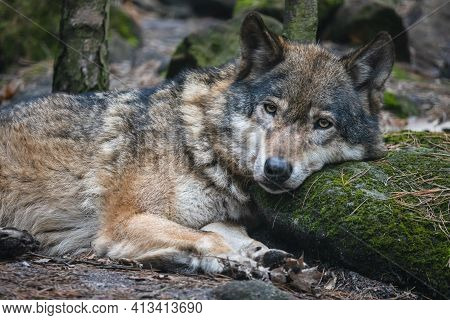 Grey Wolf Lying On The Ground With Its Head On The Mossy Stone. Beautiful Predator Timber Wolf (cani